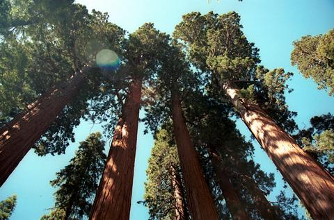 B23Sequoias001.jpg