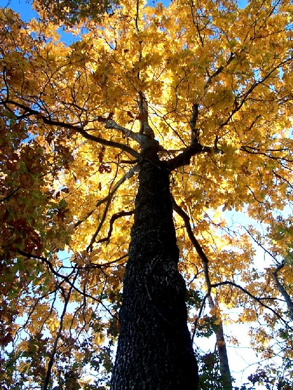 12-Hickory_Tree_with_Fall_Colors.jpg